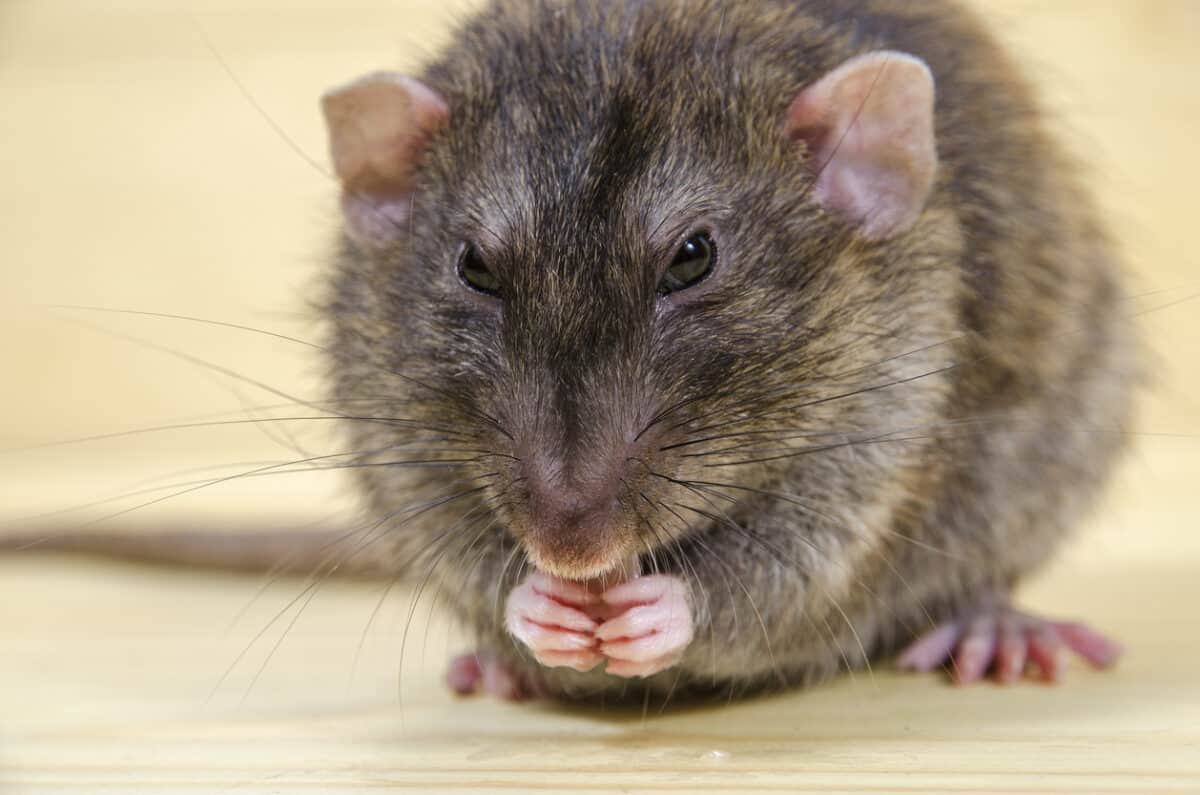 We should give a fat RAT's clacker about COVID-19 testing